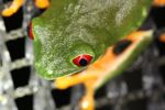 Red-eyed tree frog on BCI [panama_1016]