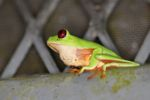 Red-eyed tree frog on BCI [panama_1023]