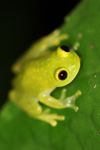 Powdered glass frog (Cochranella pulverata) [panama_1042]