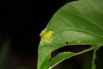 Powdered glass frog (Cochranella pulverata) [panama_1044]