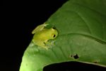 Powdered glass frog (Cochranella pulverata) [panama_1046]