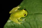 Green tree frog (glassfrog)