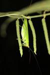 Green katydid [panama_1048]