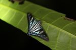 Turquoise, white, and black butterfly [panama_1051]