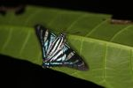 Turquoise, white, and black butterfly