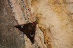 Moth [panama_1057]