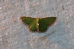 Green moth with a brown and white fringe