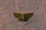 Green moth with a brown and white fringe [panama_1060]