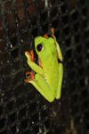 Red-eyed tree frog on a greenhouse on BCI [panama_1068]