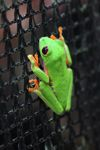 Red-eyed tree frog on a greenhouse on BCI [panama_1071]