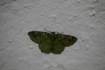 Green and brown-mottled moth
