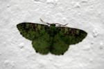 Green and brown-mottled moth [panama_1074]
