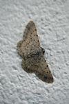 Moth [panama_1078]