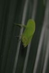 Green leaf-mimicking katydid