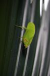 Green leaf-mimicking katydid [panama_1090]
