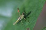 Grasshopper [panama_1094]