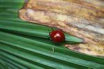 Red beetle [panama_1097]