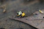 Orange, black, and yellow beetle