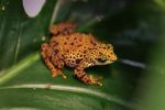 Female Toad Mountain Harlequin Frog (Atelopus certus) [panama_1150]