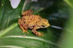 Female Toad Mountain Harlequin Frog (Atelopus certus) [panama_1151]