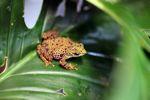 Female Toad Mountain Harlequin Frog (Atelopus certus) [panama_1152]