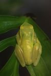 Hyloscirtus colymba tree frog