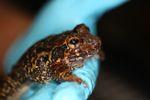 Caraugastor toad
