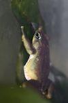 Limosa Harlequin Frog (Atelopus limosus) [panama_1195]