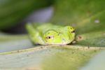 Hylomantis lemur - Lemur leaf frog [panama_1197]