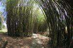 Path through a bamboo grove