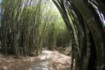 Path through a bamboo grove [panama_1205]