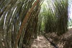 Path through a bamboo grove [panama_1206]