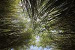 Bamboo grove [panama_1208]