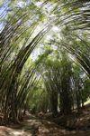 Path through a bamboo grove [panama_1210]