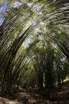 Path through a bamboo grove [panama_1211]