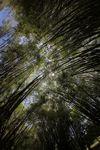 Bamboo forest [panama_1212]