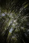 Bamboo forest [panama_1213]
