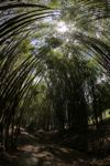 Bamboo forest [panama_1214]