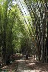 Path through a bamboo grove [panama_1216]