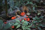 Fire fungi