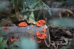 Fire fungi [panama_1220]