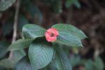 Hot lips flower [panama_1222]