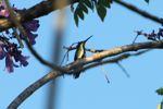Hummingbird [panama_1228]