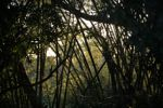 Bamboo forest [panama_1230]