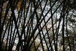 Bamboo forest [panama_1232]