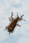 Weevil [panama_1246]