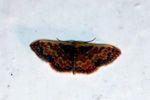 Moth [panama_1248]