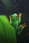 Red-eyed Treefrog (Agalychnis callidryas) [panama_1249]