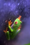 Red-eyed Treefrog (Agalychnis callidryas) [panama_1251]