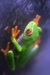 Red-eyed Treefrog (Agalychnis callidryas) [panama_1252]